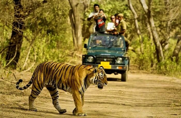 Tiger spotting in jungle safari