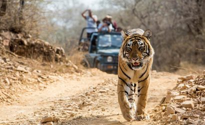 Tiger Sighting in Jim Corbett